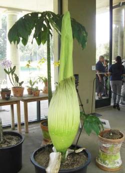 HGrareflower